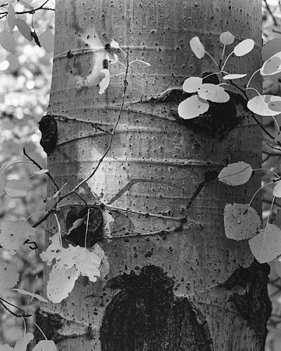 Quaking Aspen Detail, Walker Lake