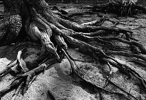 Exposed Roots, Lodgepole Pine