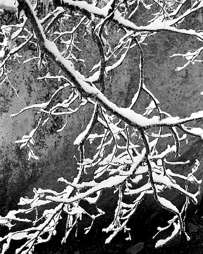 New Snow, Oak Branch