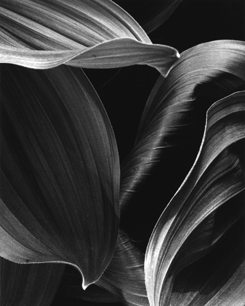 Corn Lily Abstract